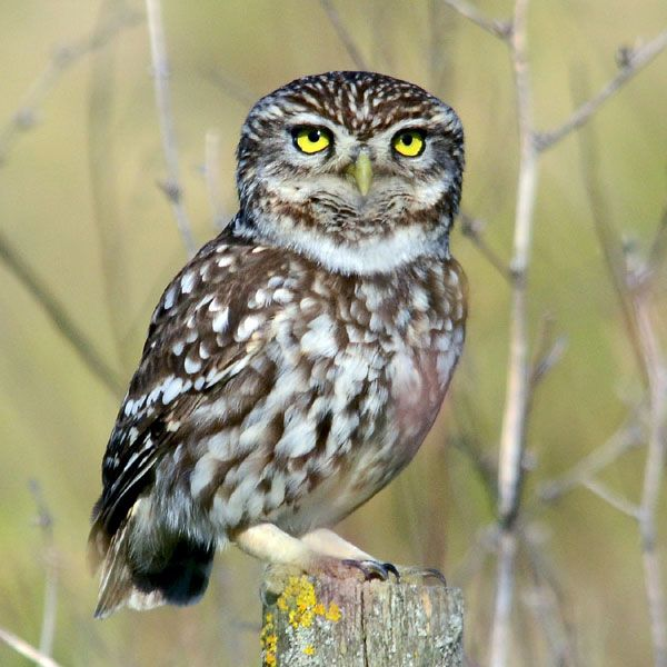 Little owl.jpg